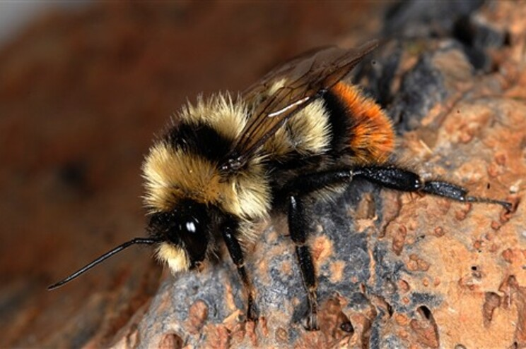 24% das espécies de abelha da Europa estão em risco de extinção