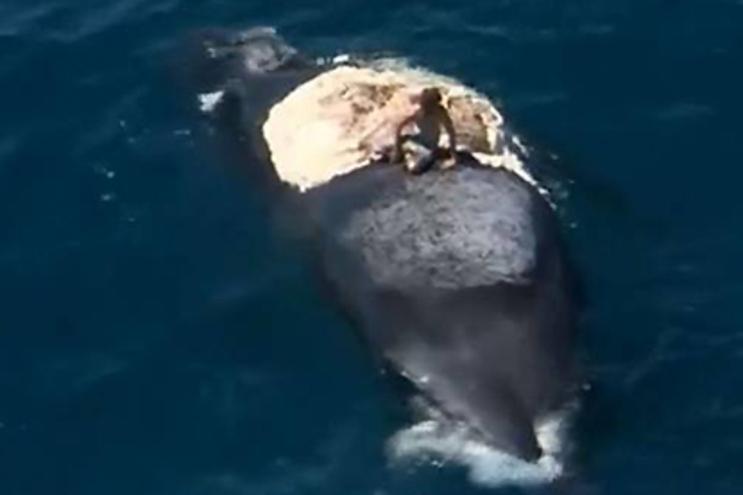 Australiano surfa baleia morta rodeado de tubarões