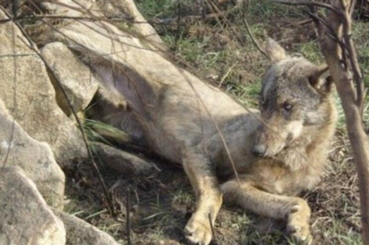 """O lobo-ibérico é uma espécie """"protegida"""" em Portugal"""