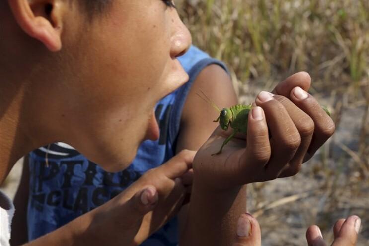 Várias culturas usam insetos como alimentos