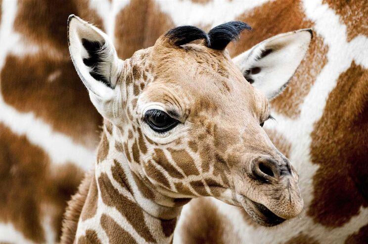 Girafas estão a caminhar para a extinção