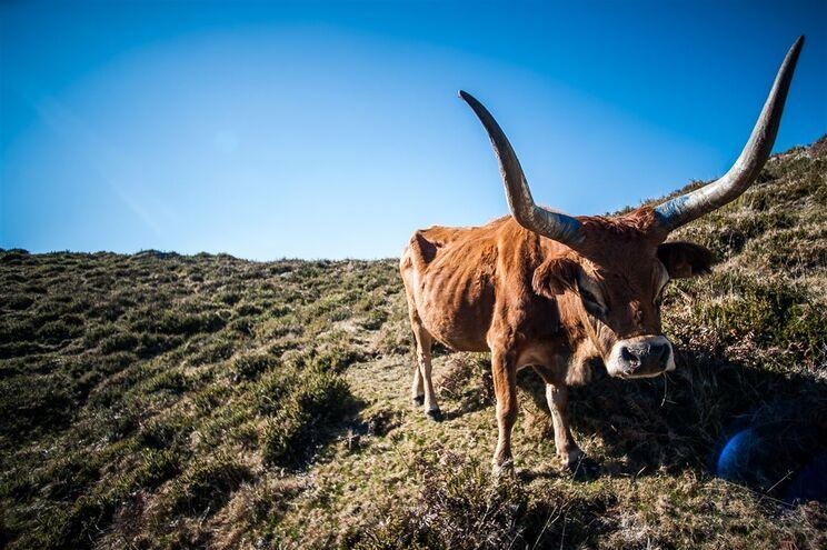 Vaca Barrosã