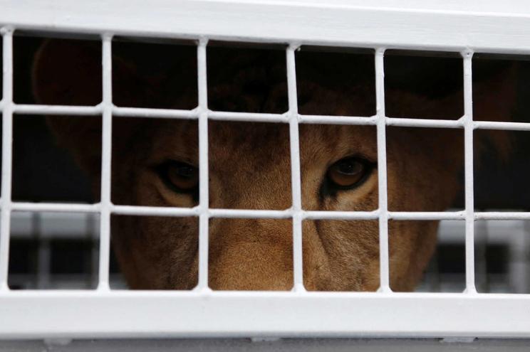 Leões são uma das espécies selvagens que até 2024 deixam de ser usadas em espetáculos de circos