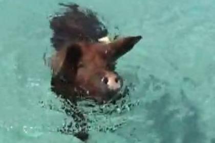 Porcos têm ilha paradisíaca no Caribe só para eles