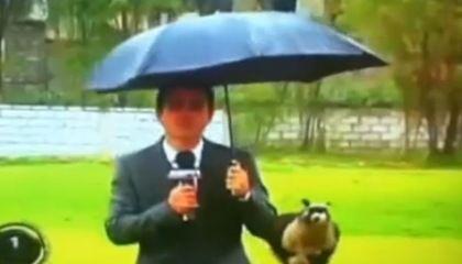 Repórter da ESPN atacado por alpaca