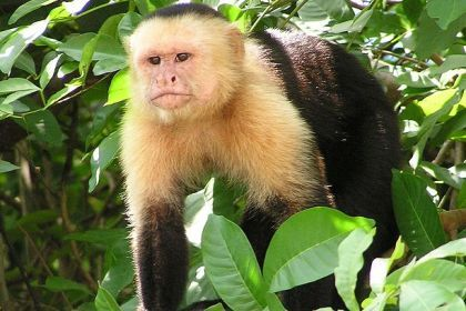 Macacos lavam-se com urina