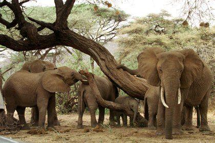 Elefantes trabalham em equipa para resolver problemas