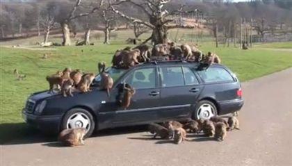 Vídeo mostra macacos a atacar Mercedes em parque safari