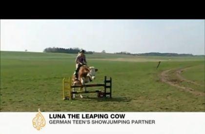 Vaca salta obstáculos como um cavalo
