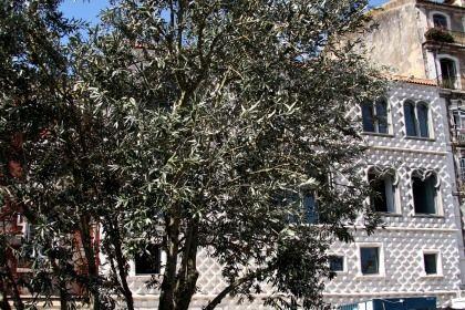 Oliveira em Memória de José Saramago, plantada junto à Casa dos Bicos, em Lisboa
