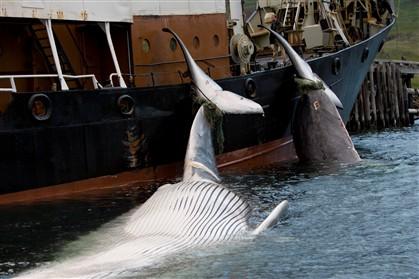 Japoneses vão começar a caçar baleias com escolta