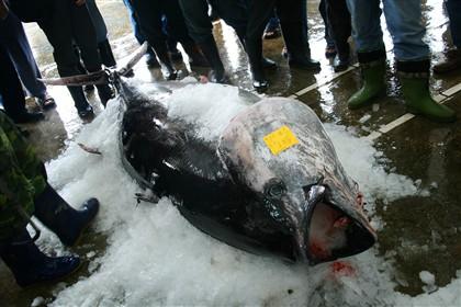 Radioatividade de Fucuxima em atum da Califórnia