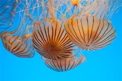 Será que a chave para a imortalidade está nas medusas?
