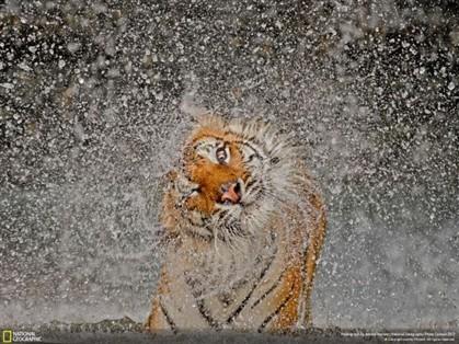 Foto de tigre a sacudir água é a melhor do ano