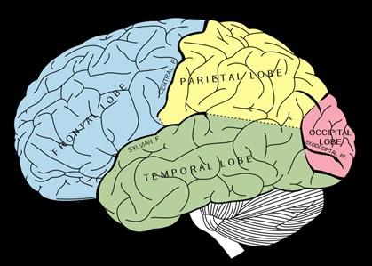 Bilingues utilizam mais áreas do cérebro