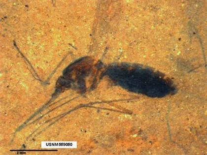 Descoberto fóssil raro de mosquito com sangue na barriga