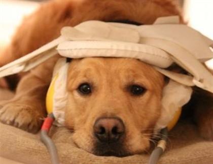Cães foram treinados para a observação