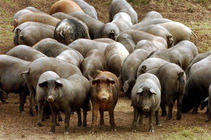 """Designação """"porco preto"""" passa a obedecer a regras"""
