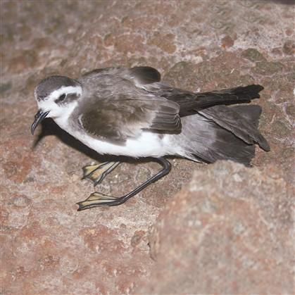 Plástico em aves portuguesas lança alerta vermelho