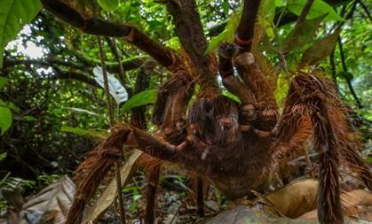 A aranha-golias