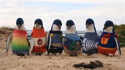 As camisolinhas são recolhidas por uma fundação para vestir aos pinguins em caso de derrame de petróleo.