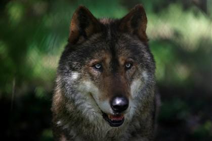 Dez milhões investidos para proteger as águias e os lobos