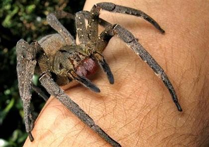 Aranha que provoca ereção de quatro horas encontrada dentro de banana