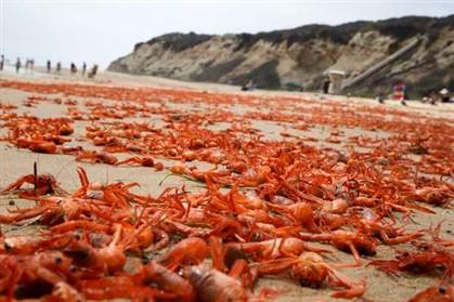 Maré vermelha nos EUA. Caranguejos invadem praias da Califórnia