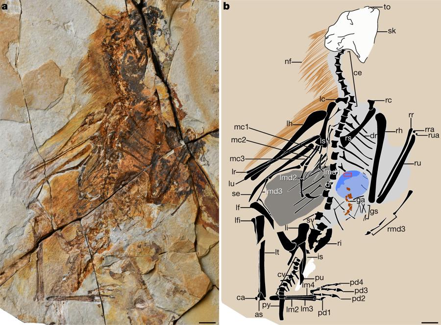 Resultado de imagem para Descoberto dinossauro do Jurássico que voava com asas de morcego