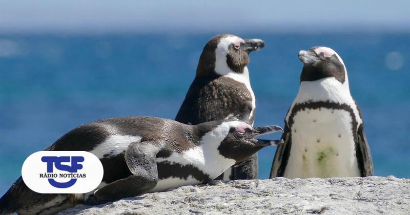 Mais de 60 pinguins de espécie ameaçada mortos por enxame de abelhas